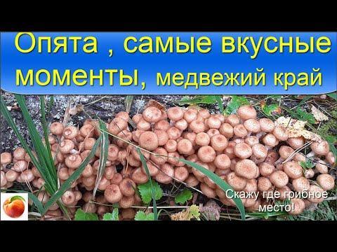 Опята Грибы Рецепт маринованных опят Следы медведя Опята поперли!